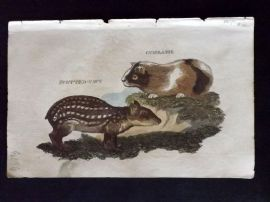 Brightly (Pub) 1811 Antique Hand Col Print. Spotted Cavy, Guinea Pig